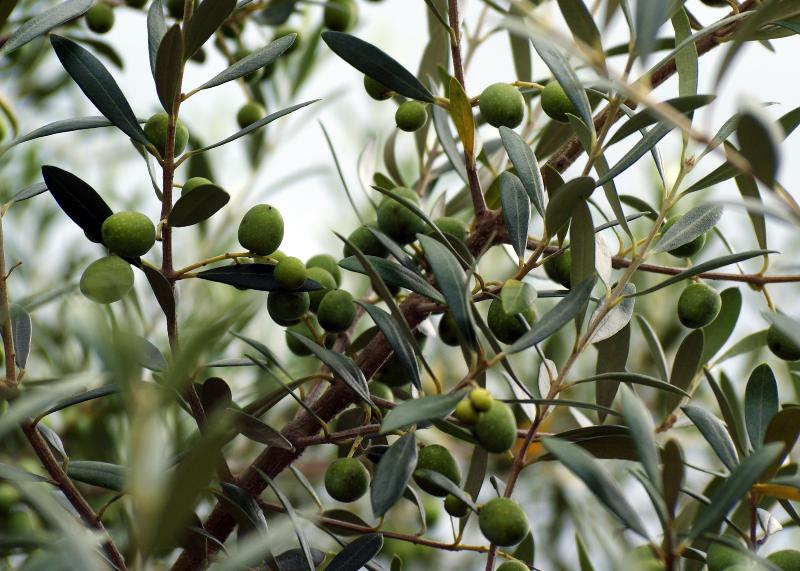 Lots of Olives