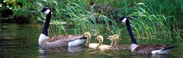 geese header1