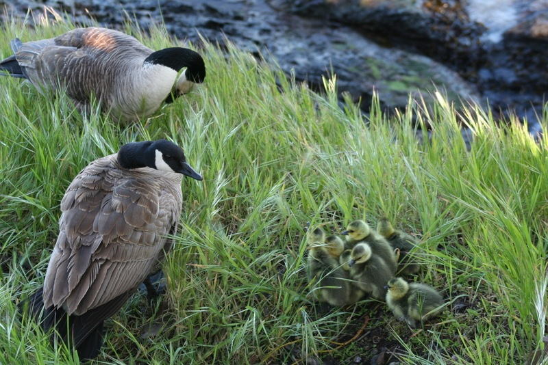Goose parents and Goslings
