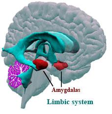 Amygdala V2