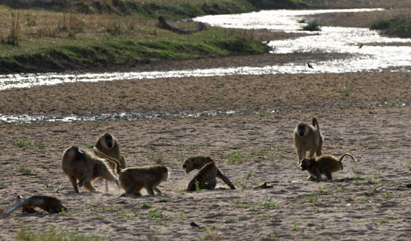 Leopard mobbed by Baboons, Ruaha