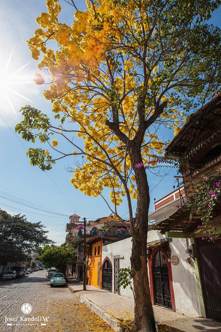 Primavera tree with Santa Cruz Church in the background...on L_zaro C_rdenas_ a few steps from Casita Vida