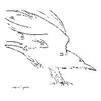 Sitka_Crow