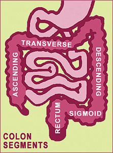 colon segments