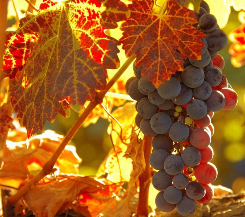fall wine grapes