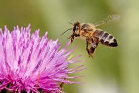 Honey Bee- Purple Flower