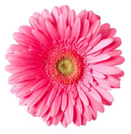gerber pink