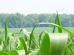 Corn field in Obion County