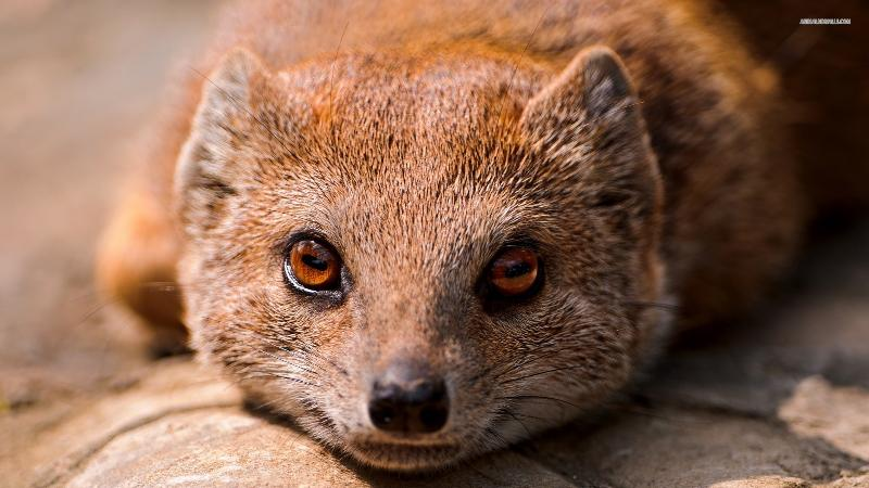 mongoose is watching