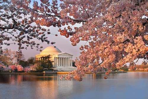 d.c.blossoms.jpg