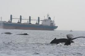 whales and ship strikes
