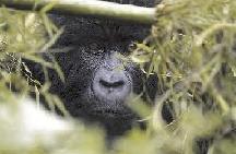 Governors Camp Rwanda Gorillas