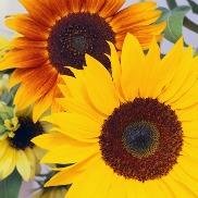 photo of yellow & orange sunflowers