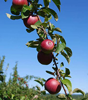 photo of apples on a branch against a clear blue sky