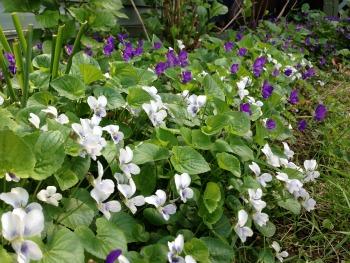 Crown Jewel Violets