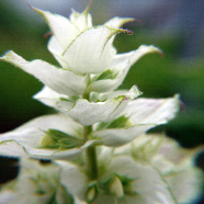 Vatican White Clary Sage