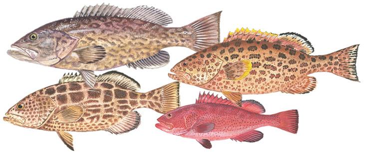 Grouper Species Grouper Species Reopens on