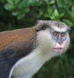 Mona Monkey (Don Hebert photo)