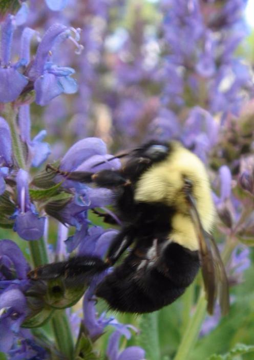 BeeLupine