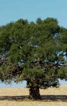 The Healing Moroccan Argan Tree