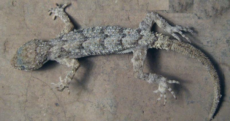 Steven Anderson gecko