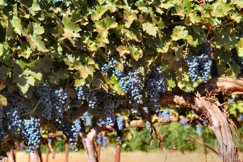 Vigilance red grapes by Casey Carney