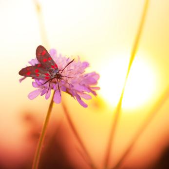 moth on wildflower at sunset