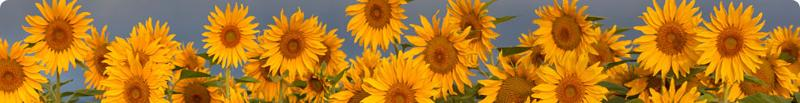 sunflower website picture