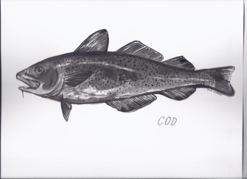 Cod illustration by Dina Chapeau, ORI 2013