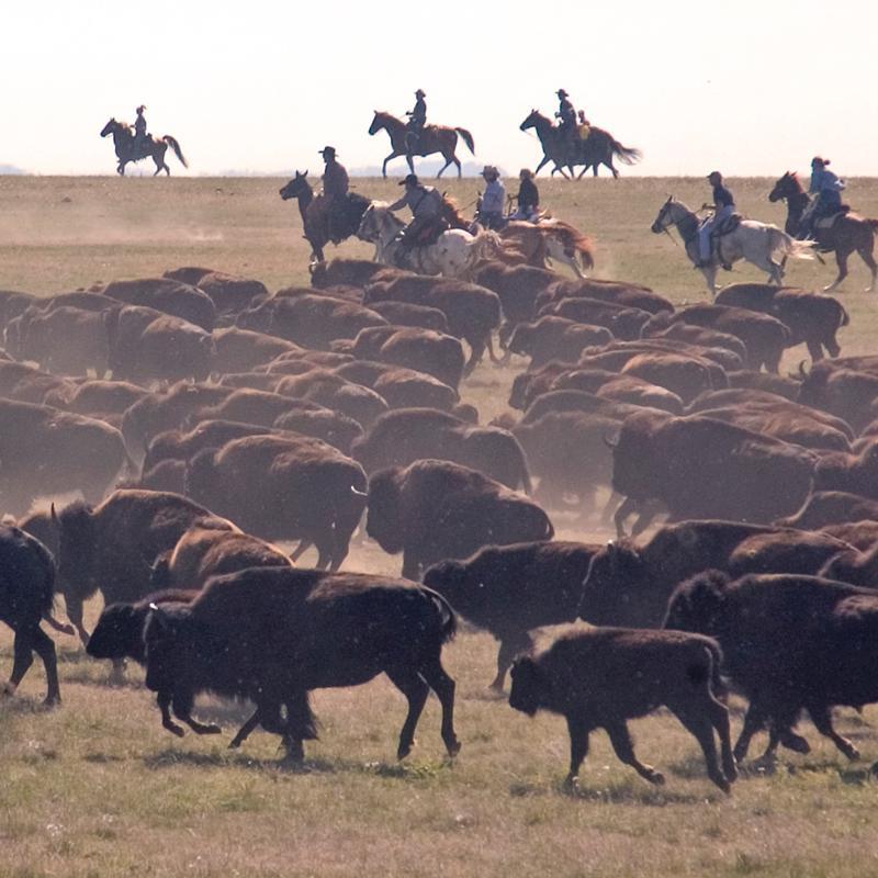Park rangers round up the buffalo