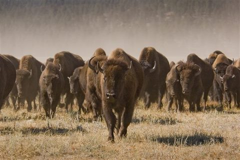 buffalo roundup SD Tourism