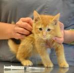 Kitten receiving a vaccine