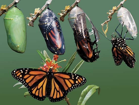 stages of butterfly emerging from chrysalys