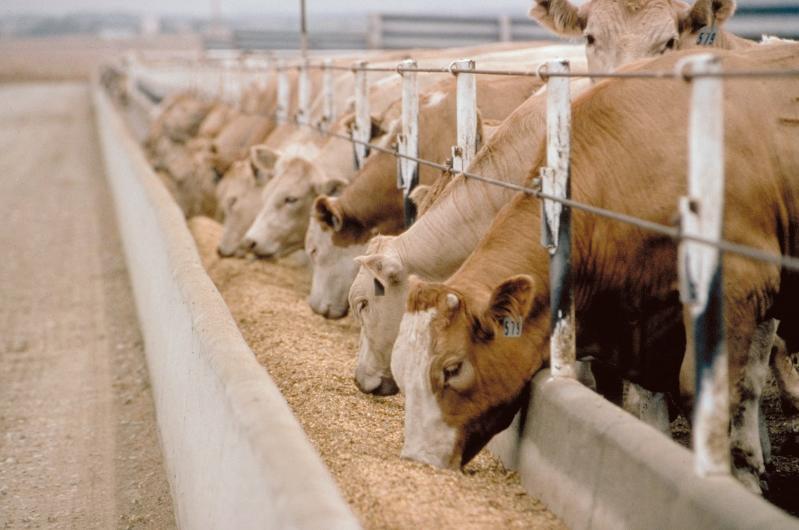 Feedlot cattle eat a lot of grain