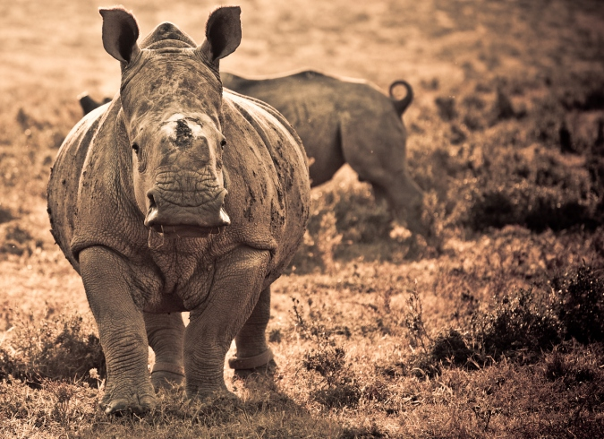 Thandi the rhino