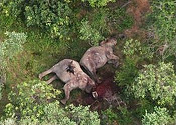 Elephants killed for ivory