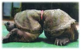 Entangled tortoise