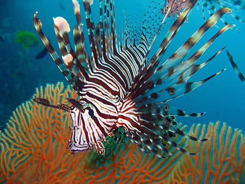 Lionfish Photo - Amy Slate's Amoray Dive Resort