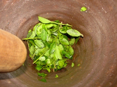 Crushing Yaupon Holly Leaves