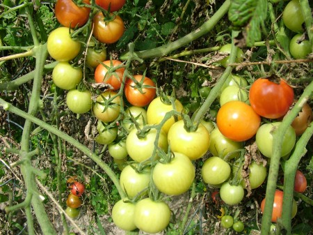 Sweet Treats Tomatoes