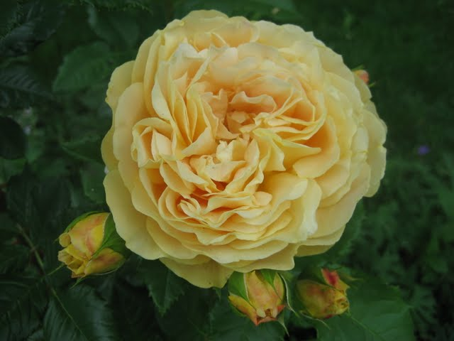 Anneliese's Rose