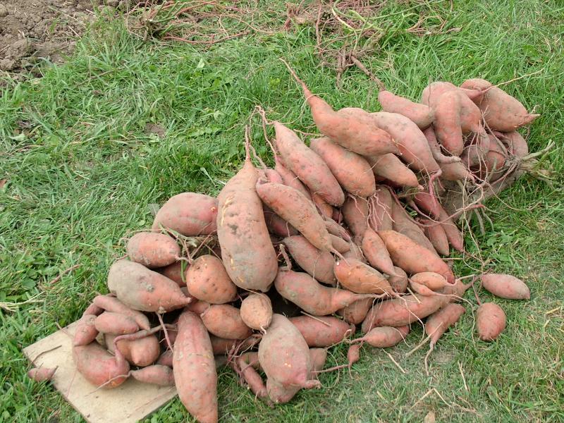 Noel's Sweet Potto Harvest