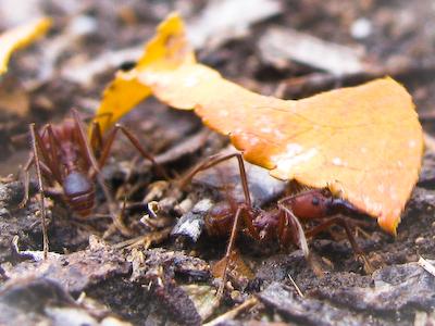 Leaf Cutting Ants
