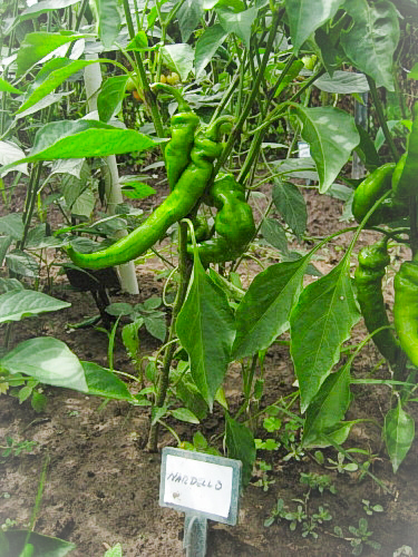 Nardello Peppers