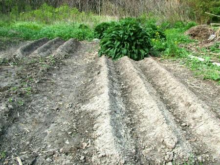 Potato Bed with Ridges
