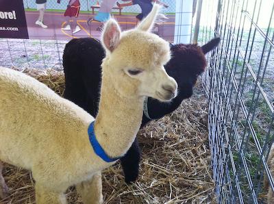 Alpacas at Mother Earth News Festival