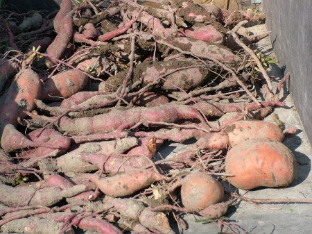 Noel's Sweet Potato Harvest