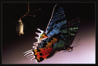 Betterfly & Chrysalis