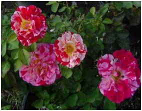 George Burns Roses