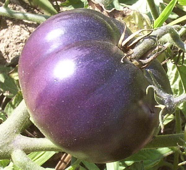 purple tomato